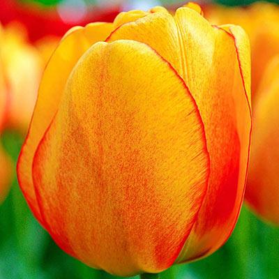 Darwin Hybrid Tulip Blushing Apeldoorn