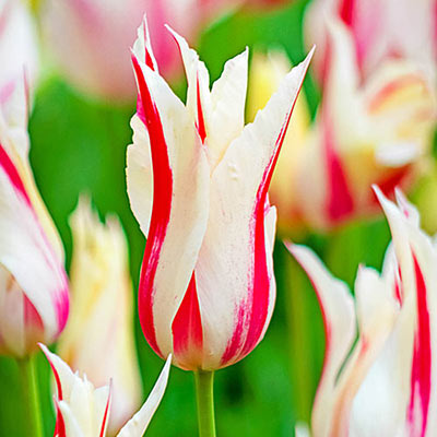 Closeup of an elegant, vase-shaped tulip with a narrow red flame rising through the middle of each creamy white petal