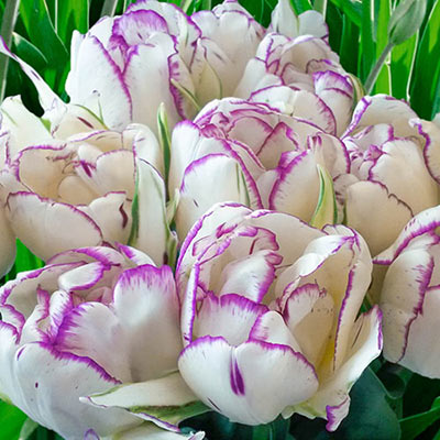 Cluster of double-flowered tulips, with layers of creamy white petals edged in violet-purple, resemble lush peonies