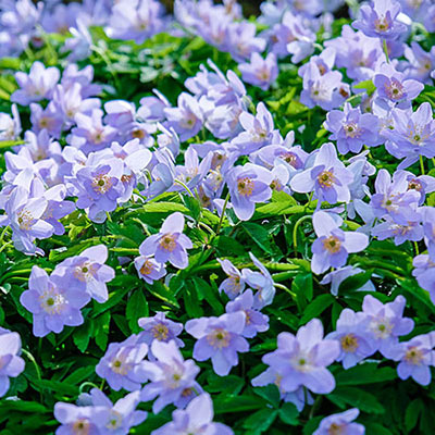 Closeup of Robinsoniana wood anemones with violet-blue flowers blooming above loose mounds of rich green leaves