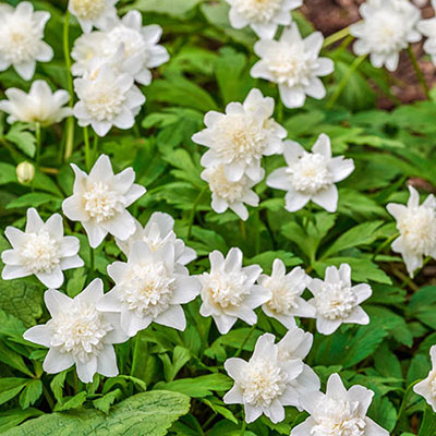 Closeup of white, double-flowered wood anemones blooming above loose mounds of rich green leaves