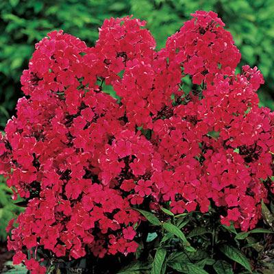 Hardy Tall Phlox Red
