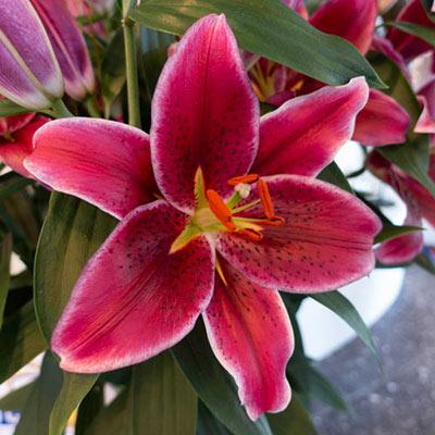 Oriental Lily Corvara