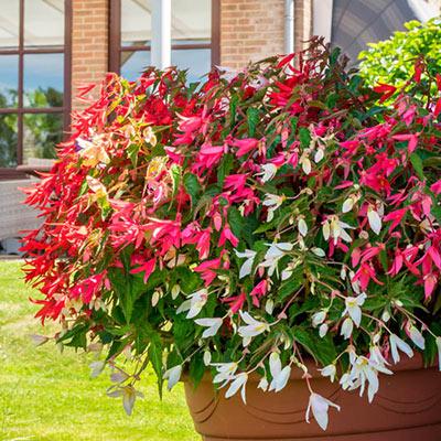 Begonia boliviensis Mixed Colors