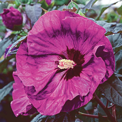 Hibiscus Berry Awesome