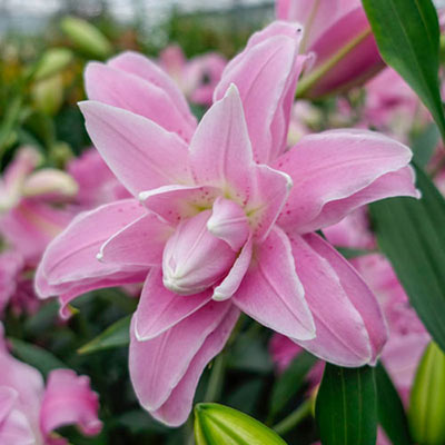 Double Oriental Lily Lotus Spring