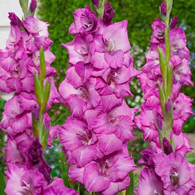 Gladiolus Evi