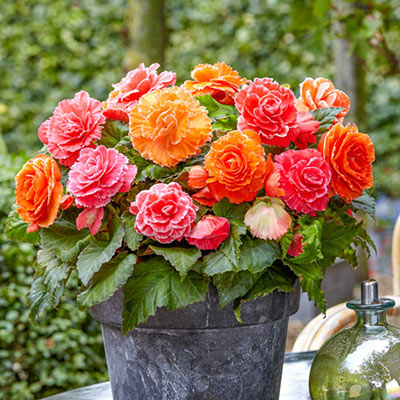 Amerihybrid Picotee Apricot & Pink Begonia Mix