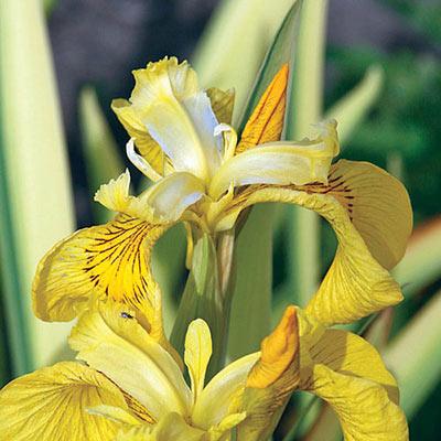 Variegated Yellow Flag Iris