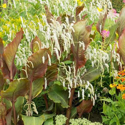 White Bottlebrush Plant