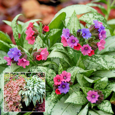 Lungwort Silver Bouquet