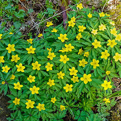 Bright yellow anemones bloom above mounds of loose, green foliage