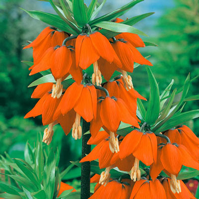 Crown on Crown' Crown Imperial (Fritillaria imperialis 'Prolifera')