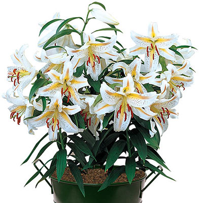 White Oriental lilies, with yellow starburst centers and raspberry-red speckles, grace a container on a plant-filled patio