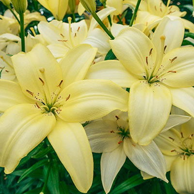 Cluster of Asiatic lilies with velvety, pale yellow petals that gently reflex backward