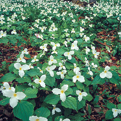 Carpet of ground cover featuring white flowers, each with three petals and yellow centers rising above three green leaves