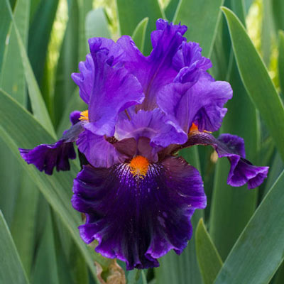 Night Owl Bearded Iris Crate