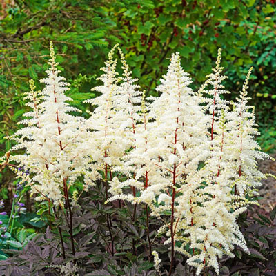 Astilbe Happy Spirit