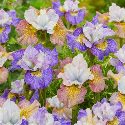 Village Faire Siberian Iris Blend