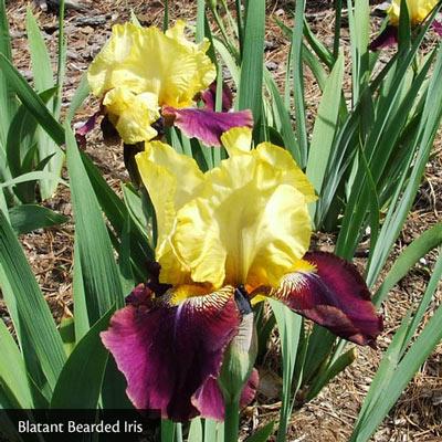 Mixture Of Bearded Iris Crate