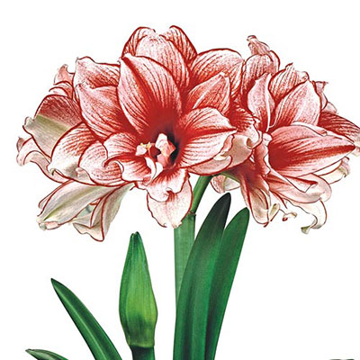 Double Amaryllis Joker