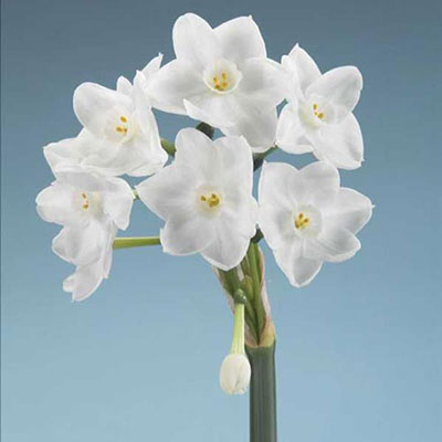 Paperwhite Narcissus Inbal