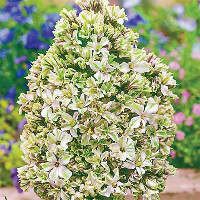 Hardy Tall Phlox Pure Feelings