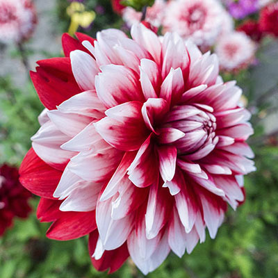 Decorative Dahlia Burlesque