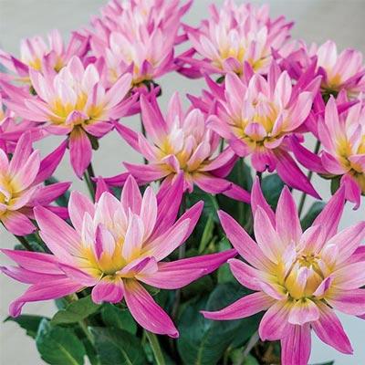 Bright Cactus Dahlia Karma Pink Corona<sup>&reg;</sup>
