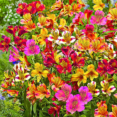 Cold Hardy Alstroemeria Mix