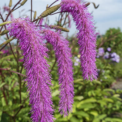 Lilac Squirrel Bottlebrush Plant
