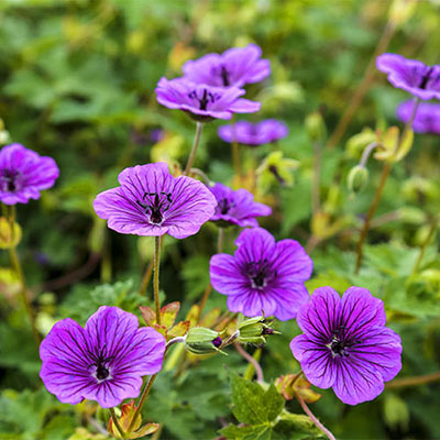 Hardy Geranium Daily Purple<sup>®</sup>