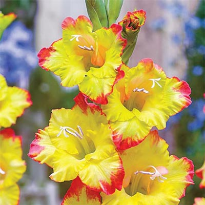 Hybrid Gladiolus Joena