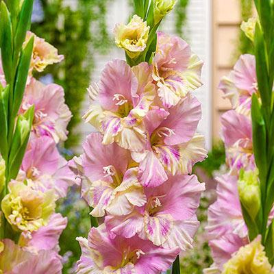 Hybrid Gladiolus Volgograd