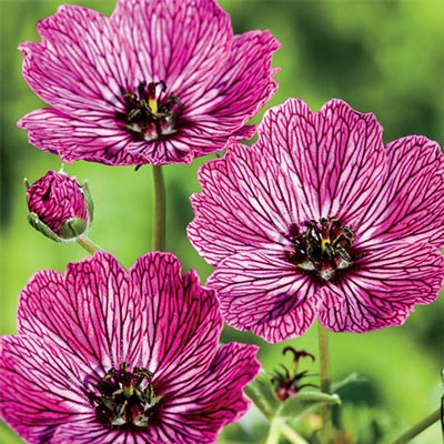 Hardy Geranium Jolly Jewel Lilac