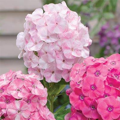 Hardy Tall Phlox Potpourri<sup>®</sup> Dark Pink Shades