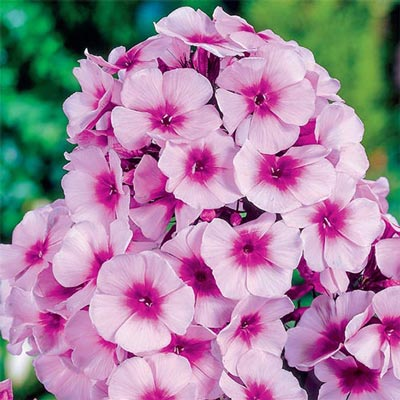 Hardy Tall Phlox Bright Eyes