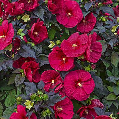 Hibiscus 'Mars Madness' | Sun Perennials | Perennials ... |Mars Madness Hibiscus