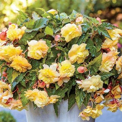 Odorata Begonia Sunny Dream