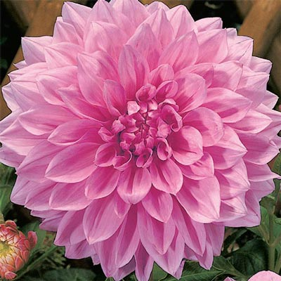 Giant Dinnerplate Dahlia Otto's Thrill