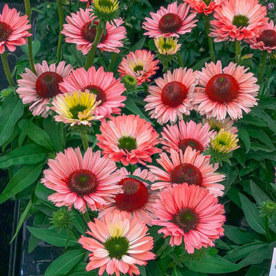 Echinacea SunSeekers Salmon®