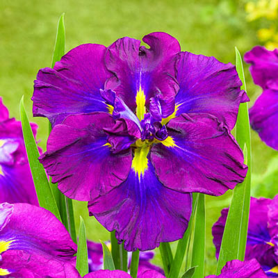Japanese Iris Blueberry Pie