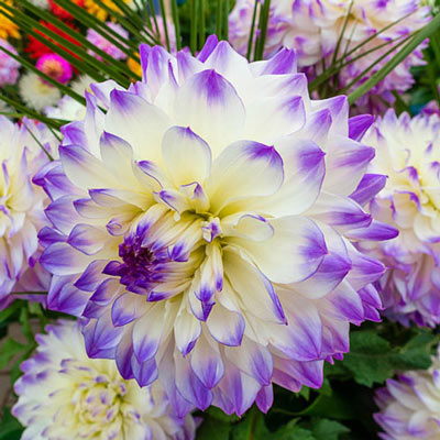 Dinnerplate Dahlia Hapet Blue Eyes