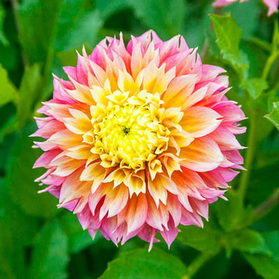 Decorative Dahlia Kogane Fubuki
