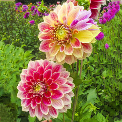 Decorative Dahlia Temple of Beauty