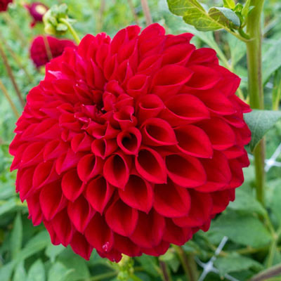 Giant Ball Dahlia Boom Boom Red