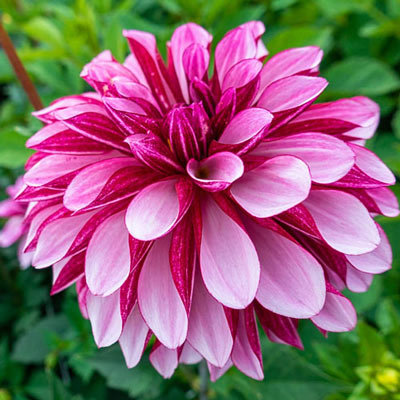 Decorative Dahlia Emma's Ippenburg