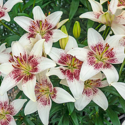Asiatic Lily Tribal Kiss