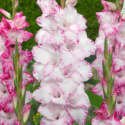 Gladiolus My Love