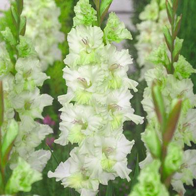 Gladiolus Gydan